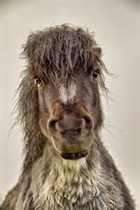 Shetland Pony Bad Hair
