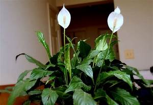 Grande Plante D Intérieur Facile D Entretien : ombre peu d 39 entretien plantes d 39 int rieur increvables ~ Premium-room.com Idées de Décoration