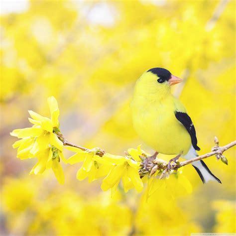 Black And Yellow Bird, Forsythia Flowers, Spring 4k Hd