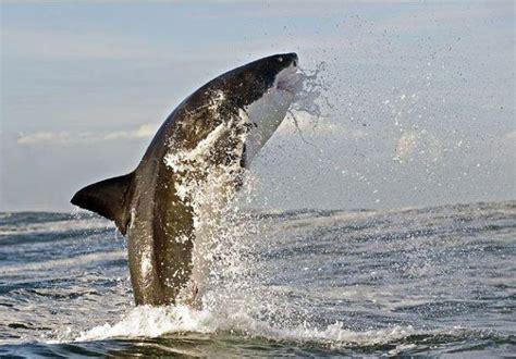 Baltā haizivs.! - Spoki