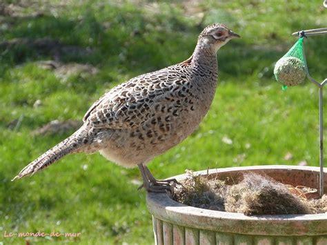 comment cuisiner une poule faisane photo d 39 une poule faisane qui vient picorer les boules de