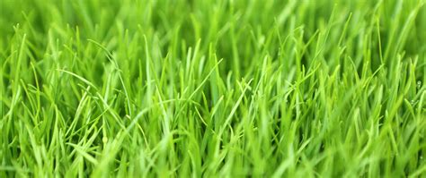 All You Need To Know About Perennial Ryegrass
