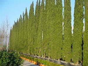 Mediterrane Bäume Winterhart : mittelmeerzypresse mediterrane s ulenzypresse cupressus sempervirens g nstig kaufen ~ Frokenaadalensverden.com Haus und Dekorationen