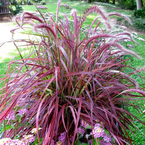 grass purple pennisetum fireworks variegated purple fountain grass gardening ideas tips pinterest