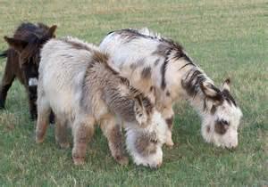 American Donkey Breeds