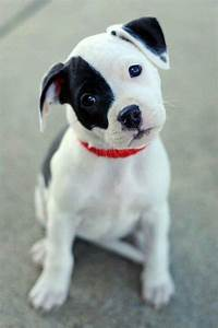 Best ideas about Pitbull Puppy, Puppy Jackrussel and Puppy ...