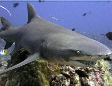 Lemon Shark Life Span