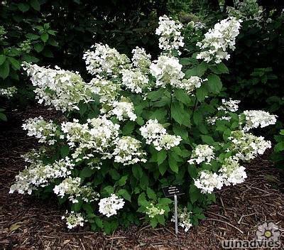 Strong Annabelle Erfahrungen by Latijnse Naam Hydrangea Paniculata Brussels Lace