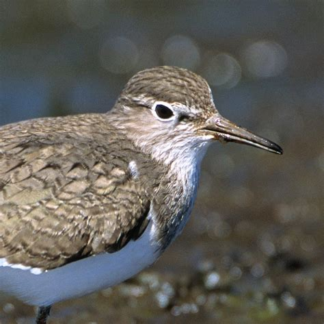 Common Sandpiper | National Geographic