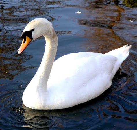 Chen, a genus comprising 'white geese', is sometimes used to refer to a group of species that are more commonly placed within anser. MUTE SWANS A THREAT TO WETLANDS AND WILDLIFE - Michigan ...