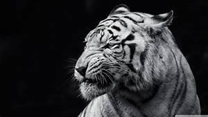Book Imagenes: Fondo HD Tigre Blanco