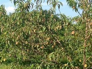Peach Tree Problems - Ask an Expert