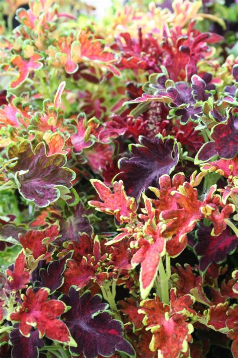 is coleus perennial coleus carefree mix flowers both annuals and perennials pinterest