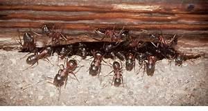 Hausmittel Gegen Kellerasseln : ameisen umsiedeln ameisen umsiedeln insekten schonend ~ Lizthompson.info Haus und Dekorationen