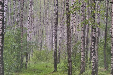 floor decor etc meridian ms birch forest 28 images clear birch forest wall mural