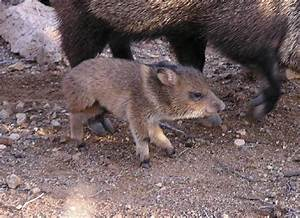 31 best PICKY PECCARIES images on Pinterest | Pigs, Little ...