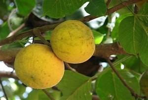 Buah Kecapi - Santol fruit (Sandoricum koetjape) is a ...