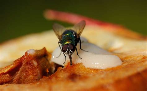 fly cuisines should you still eat your food if a fly lands on it read