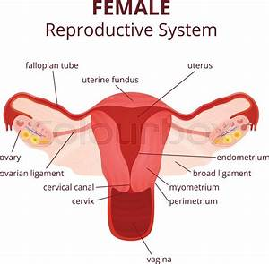 Female Reproductive System  The Uterus And Ovaries Scheme
