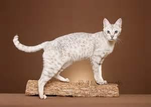 f5 cat f5 white cat meow