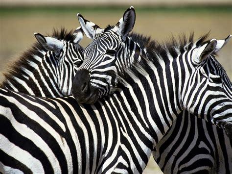 zebra desktop backgrounds