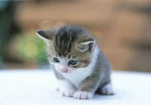 Cute Kitten With Blue Eyes Wallpapers HD / Desktop and ...