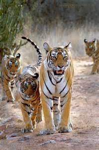 Royal Bengal Tiger Family