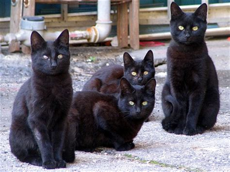 4 black cat i see black cats everywhere right in the right time