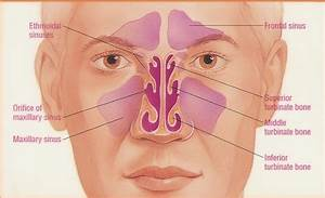 ANATOMY OF THE SINUSES * OTOLARYNGOLOGY HOUSTON