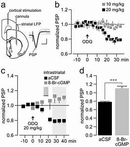 Impact Of Tonic Cgmp Signaling On Corticostriatal Synaptic