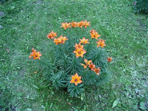 Lilie, Blumen, Garten