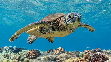 The Green Sea Turtle The Wonders Of Wildlife