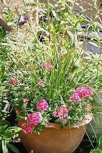 Lampenputzergras Im Kübel : mehrj hrige pflanzenfreude auf balkonien und terrassien tinto bloggt ~ Yasmunasinghe.com Haus und Dekorationen