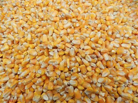 corn victoria feeds  horse  hound