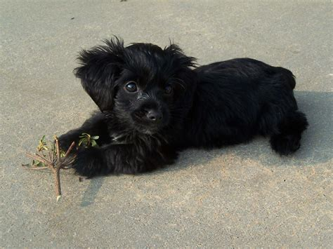 Black Yorkie Poo Puppy Dogcute Animals
