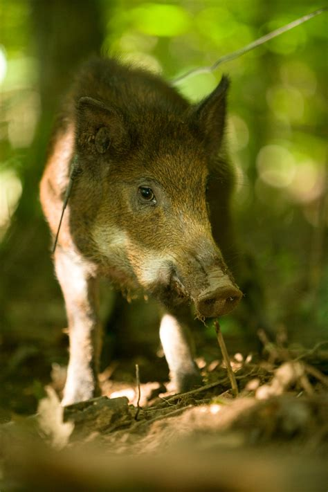 feral hogs  missouri missouri department  conservation