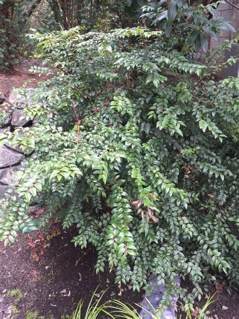 floor and decor employee discount evergreen shrubs zone 8 28 images drimys lanceolata