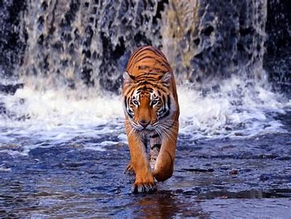 Tiger Bengal Desktop Pixelstalk