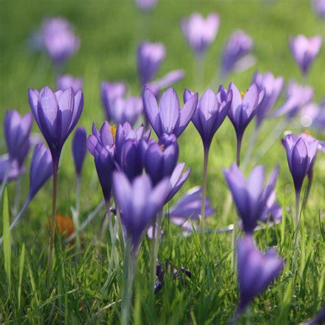 buy autumn crocus bulbs crocus speciosus conqueror