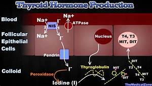 Thyroid Gland And Thyroid Hormones