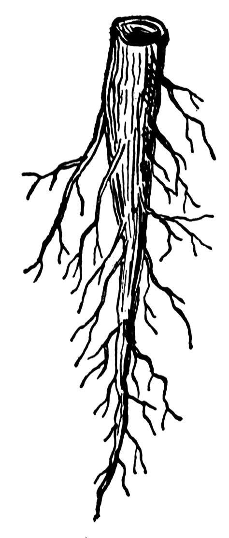 tap root clipart