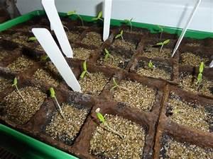 Aprikosenbaum Selber Ziehen : tomaten aus samen selber ziehen anleitung vom samen bis ~ Lizthompson.info Haus und Dekorationen