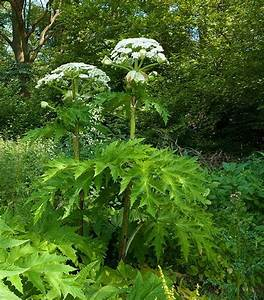 50 best images about giant hogweed on Pinterest | Giant ...
