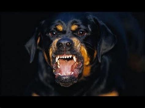 defenseless black dude bitten   rottweiler mix