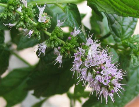 mint flowers diagnosis why has my mint plant gone all woody sparse stringy gardening landscaping stack
