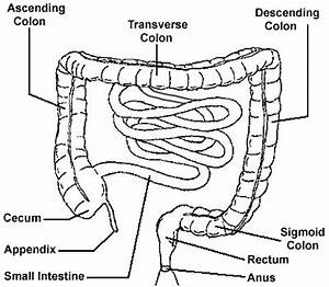 Intestines And Colon Diagram images