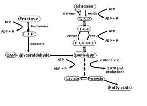 ... metabolism of fructose in the liver drive the pathway toward glucose  Hypoglycemia Food, Nutrition and Metabolism