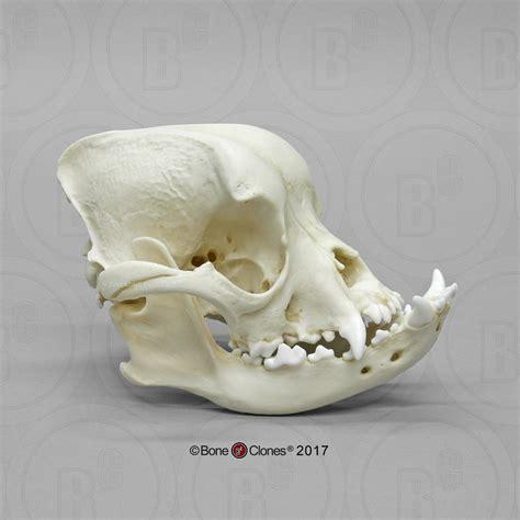 english bulldog skull bone clones  osteological