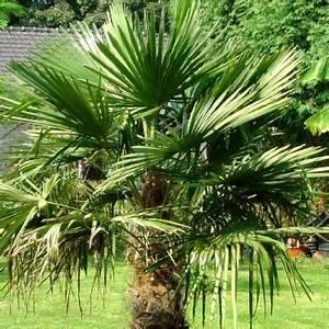 Palmier De Jardin : palmier de chine arbustes jardins palmiers et plante ~ Nature-et-papiers.com Idées de Décoration