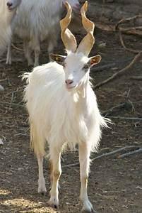 The girgentana goat from Sicily | odd animals | Pinterest ...
